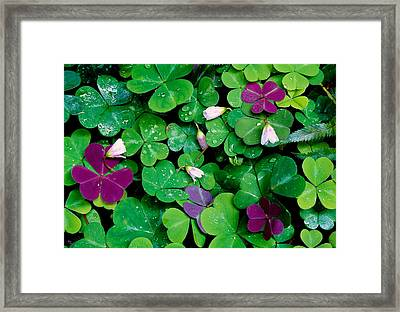 Wood Sorrel Plants Oxalis Oregana Framed Print by Panoramic Images
