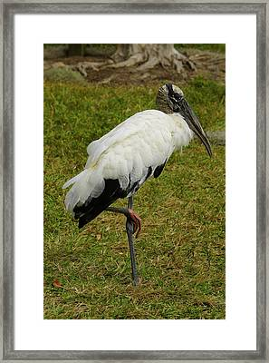 Wood Stork Framed Print by Laurie Perry