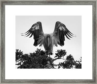 Wood Stork Spread Framed Print
