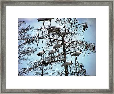 Wood Storks Framed Print by Will Boutin Photos