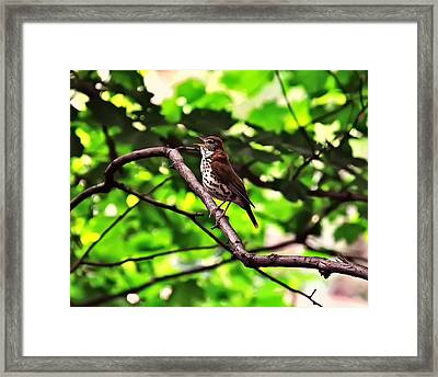 Wood Thrush Singing Framed Print by Chris Flees