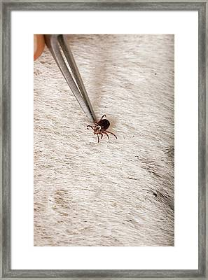 Wood Tick On A Horse Framed Print by Peggy Greb/us Department Of Agriculture