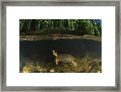Wood Turtle Swimming North America Framed Print by Pete Oxford