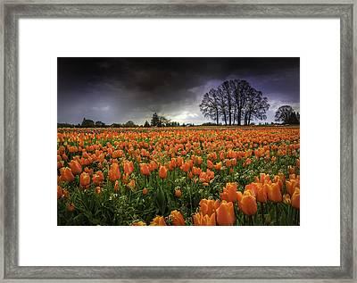 Woodburn Tulip Festival Framed Print