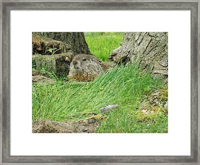 Woodchuck 2 Framed Print