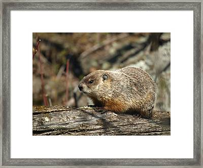 Woodchuck Framed Print by James Peterson