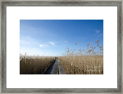 Wooden Footpath In The Reeds Framed Print