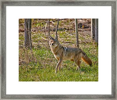 Woodland Coyote Framed Print by Timothy Flanigan