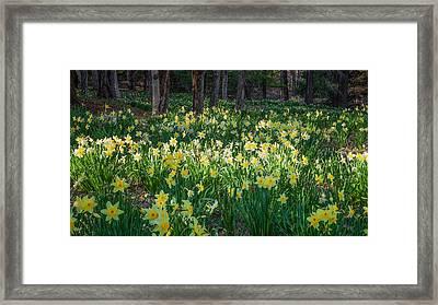 Woodland Daffodils Framed Print