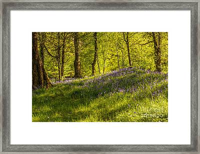 Woodland Of Bluebells Framed Print by Amanda Elwell