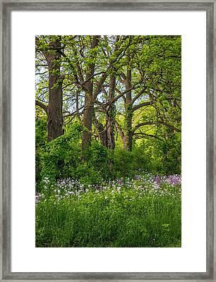 Woodland Phlox 2 Framed Print by Steve Harrington