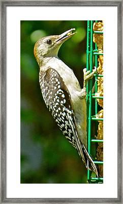 Woodpecker 101 Framed Print by Patsy Pratt