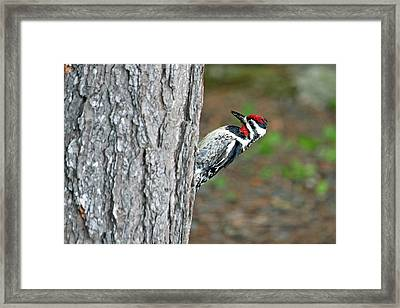 Framed Print featuring the photograph Woodpecker by Barbara West