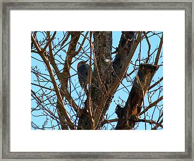 Woodpecker Framed Print by Carolyn Ricks
