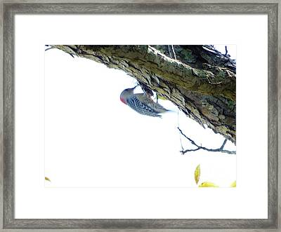 Woodpecker In A Tree Framed Print by Marie Bulger