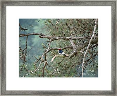Woodpecker Framed Print by Joseph Baril
