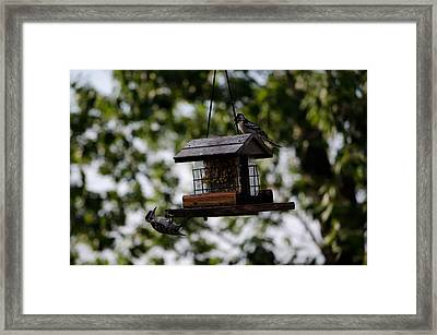 Woodpeckers At Dinner Framed Print