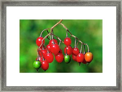 Woody Nightshade Or Bittersweet Framed Print by Nigel Downer