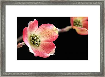 Woof Pink Dogwood Framed Print by JC Findley