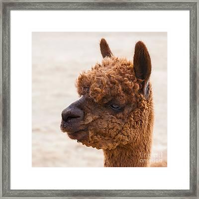 Woolly Alpaca Framed Print by Jerry Cowart