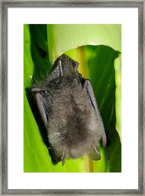 Woolly Bat, Malaysia Framed Print by Fletcher & Baylis