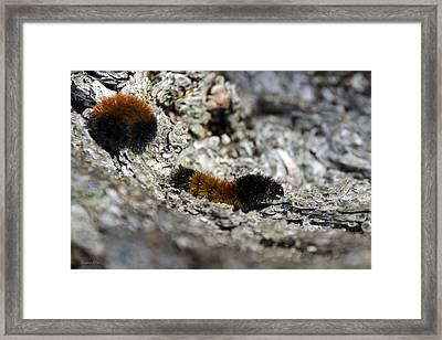 Woolly Bear Caterpillar Framed Print by Christina Rollo