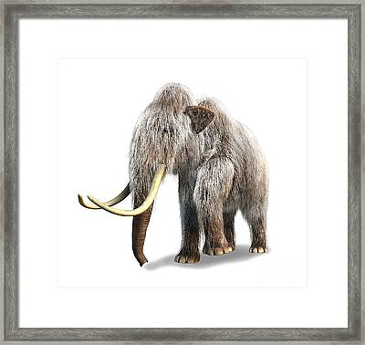 Woolly Mammoth, White Background Framed Print by Leonello Calvetti