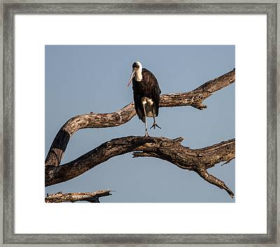 Woolly Necked Stork Framed Print by Craig Brown