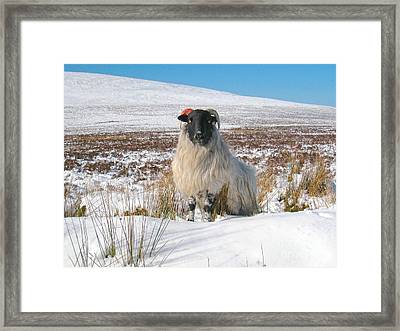 Woolly Red Framed Print