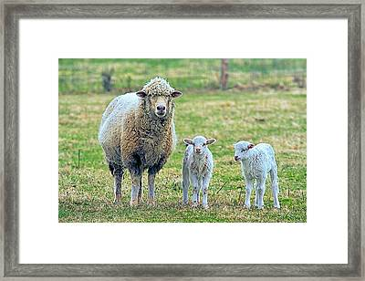 Wooly Babies   Framed Print by Constantine Gregory