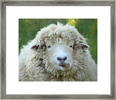 Wooly Sheep Framed Print