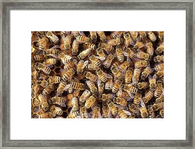 Worker Bees On A Honeycomb Framed Print by Photostock-israel