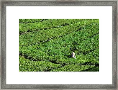 Worker On A Tea Plantation Framed Print by Scubazoo