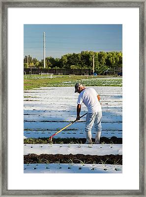 Worker On An Organic Farm Framed Print by Jim West