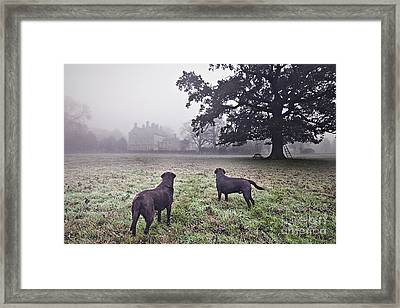Working Labradors In Field Framed Print