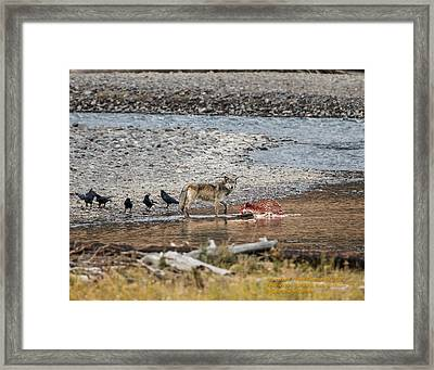 World Famous Yellowstone Gray Wolf 06' Framed Print