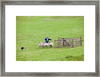World Sheep Dog Trials Framed Print