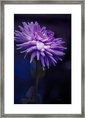 Worton Blue Streak Dahlia Framed Print by Julie Palencia