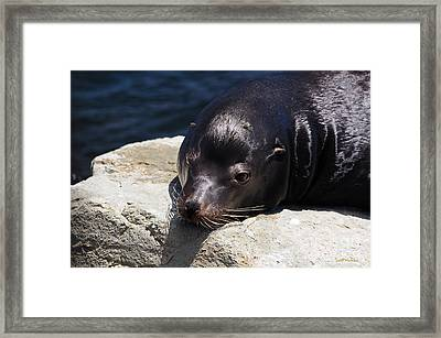 Wounded Sea Lion Resting Framed Print