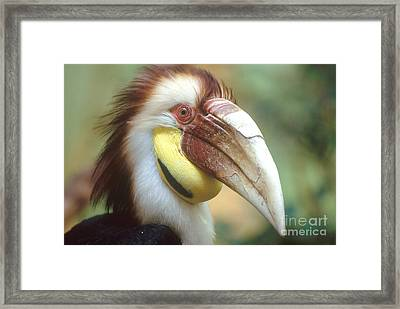 Wreathed Hornbill Framed Print by Art Wolfe