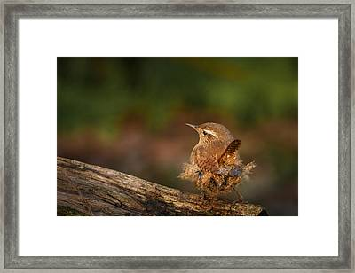 Wren Having A Marilyn Munroe Moment Framed Print by Izzy Standbridge