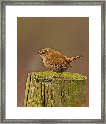 Wren Framed Print by Paul Scoullar