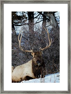 Wyoming Elk Framed Print