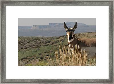 Wyoming Pronghorn Framed Print