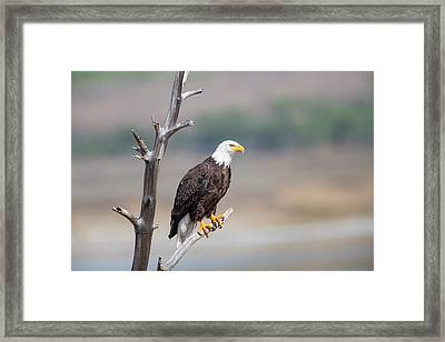 Wyoming, Sublette County, Bald Eagle Framed Print by Elizabeth Boehm