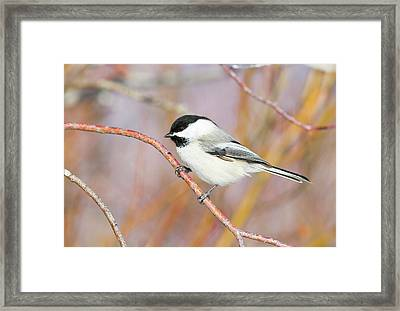Wyoming, Sublette County, Black-capped Framed Print by Elizabeth Boehm