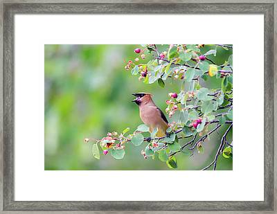 Wyoming, Sublette County, Cedar Waxwing Framed Print