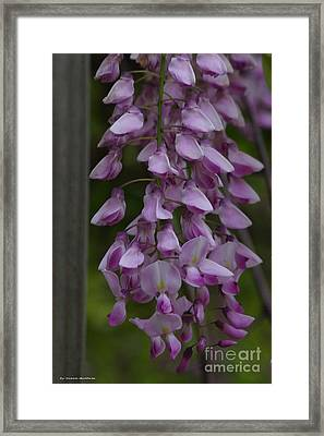 Wysteria Blooms Framed Print