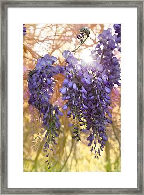 Wysteria Framed Print by Debra and Dave Vanderlaan