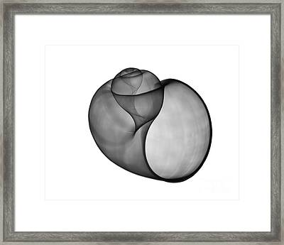 X-ray Of Florida Apple Snail Framed Print